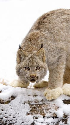 Canada Lynx [Lynx canadensis] Look at the dense richness of this winter coat of this LYNX and note those big snowshoe paws.