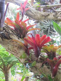 Bromeliads growing on trees. Tillandsia species are epiphytes (also called aerophytes or air plants) – i. they normally grow without soil while attached to other plants. Epiphytes are not parasitic, depending on the host only for support. Exotic Plants, Exotic Flowers, Tropical Plants, Tropical Flowers, Tropical Gardens, Orchids Garden, Garden Plants, Cool Plants, Air Plants