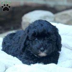 Mini Bernedoodle Puppy in Millersburg, PA