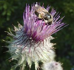 Cirsium edule, Indian Thistle Habitat: Moist meadows, clearings, forest openings usually at middle to high elevations Bloom time: Spring to summer Range: Cascades to Coast in Washington to Central British Columbia