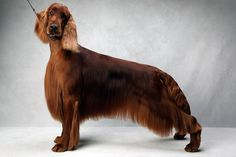 Reign the Setter (Irish sportimg). Reign, registered as Northwinds First Reign, is owned by Rebecca Arch, Jeffrey Arch, Donald Keane and Nancy Keane. (Fred R. Conrad, a New York Times photographer, set up a studio at the 2013 Westminster Kennel Club dog show and invited Best of Breed winners to pose.)