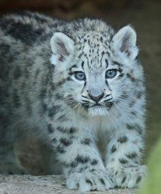 snowleopard Krefeld JN6A3593