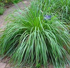 Lemon-Grass Herb Plant