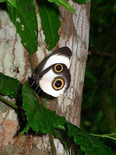Papuan Butterfly, Artémis