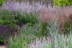 Calamagrostis x acutifolia 'Karl Foerster' and violet shades of Veronicastrum virginicum 'Lavendelturm.' In the foreground: fuzzy grey and purple Lambs Ears (Stachys byzantina) with magenta Lychnis coronaria