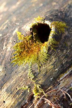 Моховидные, или Мхи, или Настоящие мхи, или Бриофиты (лат. Bryophyta) Moss hole