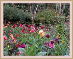 marieke nolsen Dahlia, Plants, Blog, Dahlias, Blogging, Plant, Planting, Planets