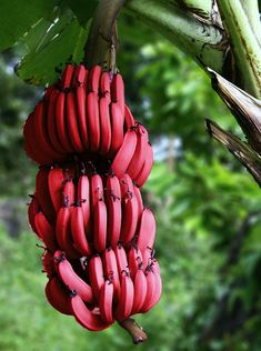 Red banana is one of the most popular fruit in the recent days. Andwhat is red banana? What are the benefits of red banana? Tropical Fruits, Tropical Plants, Red Banana Tree, Planting Seeds, Planting Flowers, Banana Types, Banana Facts, Banana Seeds, Fruits Online