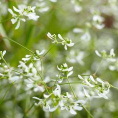 Diamond Frost Euphorbia flowers