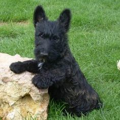 Cachorro de Scottish Terrier