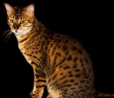 """EGYPTIAN MAU cat by Andreas-photography, via Flickr  (> """" """" <)  ( ='o'= ) Adorable !  -(,,)-(,,)----------------   (We have a Egyptian Mau she looks simular to this one, very beautiful cats, her name is """"Ski."""")"""