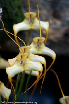 Resultado de imagem para Epidendrum coriifolium