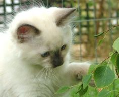 """Kitten Ragdoll--Ragdoll History  The Ragdoll breed is believed to have originated around 1965. Anne Baker is reputed to be the original breeder. There are many different stories as to the breed origin of these cats but it is thought to have started with a white Persian and Angora mix cat called """"Josephine"""". Kittens born from Josephine appeared to have a very gentle disposition and a loving nature, magnificent blue eyes and non matting fur. They have a tendency to hang limply in your arms…"""