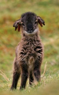Soay lamb on St Kilda Islands, Scotland (by matsljungberg)