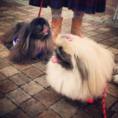 """My Aunt calls her 3 Pekinese  """"little floor mops"""" for a reason, lol.."""