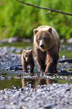 Alaskan Brown Bear Mother & Cub