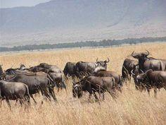 wildebeest migration  www.dancomtours.com