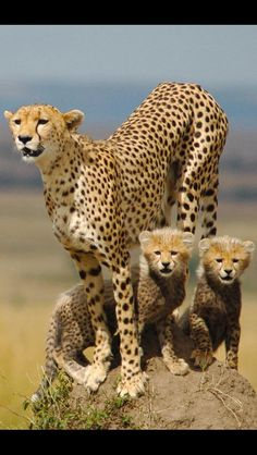 have a good night Unusual Animals, Animals Beautiful, Animals And Pets, Baby Animals, Big Cat Family, Baby Cheetahs, Jungle Cat, Cute Lion, Special Girl