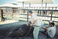 Gary Jacobson applies electric shock to a baby elephant's head. | This is one of 24 pictures of cruelty used by Ringling Bros. that are used in training. (DB)