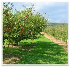 Connecticut Apples: a listing of all of our member orchards