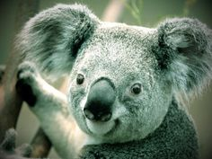 A baby koala is referred to as a joey and is hairless, blind, and earless.