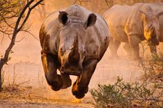 Interesting Photo of the Day: Charging Rhino in Mid...