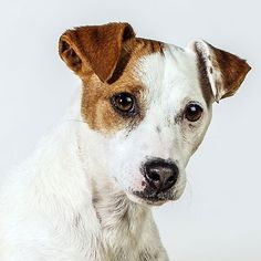 JRT the Jack Russell Terrier  Dog Face: canine portraits by Barbara O'Brien