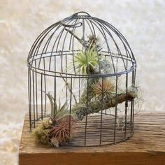 tillandsia birdcage - Google Search