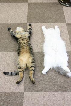 ぱっくりご開帳!無防備な寝姿がたまらない「猫の開き」16選