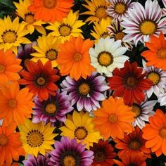 22 seeds 2.99// New Day Mixture gazania seeds - Garden Seeds - Annual Flower Seeds--How to Plant GAZANIA Seeds-Sow seed in flats, press into soil and barely cover. Needs darkness to germinate. Cover flats with newspaper and keep out of direct sun. Kept at 70° F., germination is in 14-21 days. Transplant 12 inches apart. Comments: Full sun. Heat and drought tolerant, average water produces heaviest bloom. Deer and rabbit resistant. Attracts butterflies.