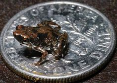 The tiniest frog and the tiniest vertebrate that currently exist on  Earth was discovered recently (rainforest New Guinea). The adult frog  is only 7.7 millimeters (smaller than a dime--why it took so long to discover it.)