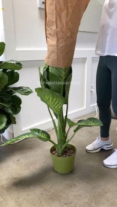 Bring nature indoors with a beautiful, lush, green, Dieffenbachia Seguine aka Dumbcane indoor plant from The Potted Earth Co. Living Room Plants, House Plants Decor, Plant Decor, Foliage Plants, Potted Plants, Garden Plants, Interior Garden, Interior Plants, Large Indoor Plants