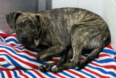 Brindle Plott Hound | Lottie, the Brindle Plott Hound Girl Puppy, is Feeling Patriotic ...