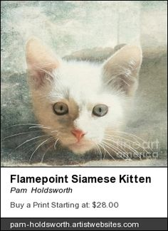 Flamepoint Siamese Kitten photograph.