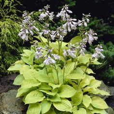 (X- need moisture and shade??)  July / August -  Hosta August Moon
