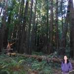 Muir Woods.  A woman walks by part of the tree that fell in Bohemian Grove on December 21, 2012.