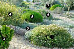 1. Cistus x pauranthus 'Natacha'  (40-50 cm / 80-100 cm) 2. Myrtus communis 'Baetica'  (60 cm / 50 cm) 3. Thymus ciliatus  (8 cm / 50 cm) 4. Phlomis lycia  (1 cm / 80 cm) 5. Santolina viridis 'Primrose Gem'  (60 cm / 80 cm) 6. Lomelosia cretica  (60 cm / 60/80 cm) 7. Teucrium fruticans  (1,5 m / 2 m)