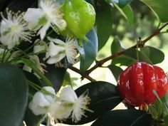 Surinam or Brazilian Cherry. Two or three trees in my yard that fruit almost all year long! One tree bears large cherries but both produce semi-sweet to tart fruit. Sometimes they are really sweet and seem to be one breeze from falling off its stem. Fresco, Brazilian Fruit, Suriname Food, The Brambles, Acerola, Banana Flower, Exotic Fruit, Garden Trees, Fruit Garden
