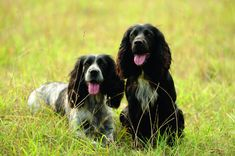 There's a lot to be said for the working cocker, whether it's out in the field doing its job or being much-loved family pet. Working Cocker, Cocker Spaniel, Mans Best Friend, Spaniels, Pets, Pepper, Animals, Popular, Animais