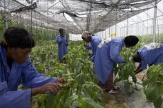 One of the tricks to be used for improving crop sanitary conditions is to use trellis net like HORTOMALLAS against phytopathogens. Start Ups, Famous Singers, Funny Animal Pictures, Black Laces, New Trends, Agriculture, How To Make Money, Projects To Try, Places To Visit