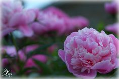 Pink peonies.  My favorite flower!