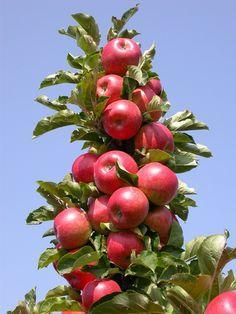 Колоновидная яблоня. Уход, выращивание, размножение. Плодовые деревья. Сад. Урожай. - Ботаничка.ru
