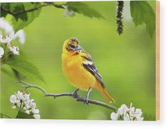 Bird And Blooms - Baltimore Oriole Wood Print by Christina Rollo.  All wood prints are professionally printed, packaged, and shipped within 3 - 4 business days and delivered ready-to-hang on your wall. Choose from multiple sizes and mounting options.