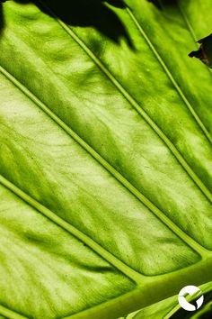 Detalle de una hoja de Manto de eva (Alocasia Macrorrhiza) ☘️ Inspiración Natural 💚 Plant Leaves, Plants, Leaves, Naturaleza, Plant, Planets