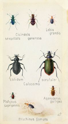 https://flic.kr/p/avKnX6 | n332_w1150 | Field book of insects New York,G.P. Putnam's sons,1918. biodiversitylibrary.org/page/1595307