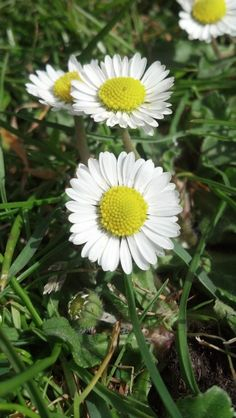 Daisy ~ Growing in 15 April 2012