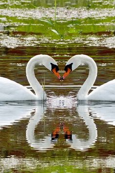 Swans in love, plus the reflection.... amazing photograph!