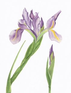 I watched this Iris ( Iridaceae hollandica ) grow outside my studio in the foothills of the Adirondack Mountains. I was taken in by the