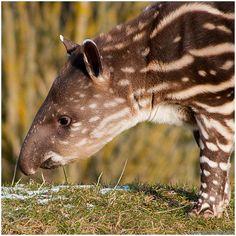 Tapir!!!