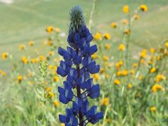 Lupine by Margaret LyBurtus on Capture Kern County // I caught this single Lupine among the Fiddle-necks.